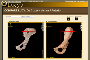 lucy and modern human pelvis compare