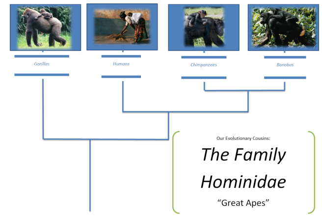 family hominidae diagram