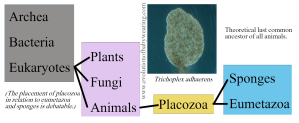 placazoa