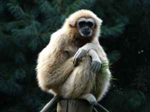 animal cute gibbon monkey